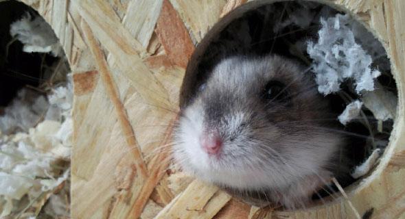 Hamster Pflegeleichte Haustiere Fello