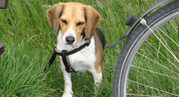 hunde und fahrrad so gew hnt ihr hunde ans zweirad fello. Black Bedroom Furniture Sets. Home Design Ideas