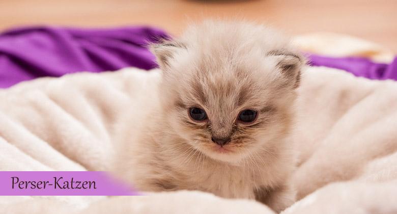 Perser-Katzen